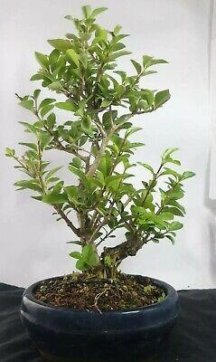 European Privet Bonsai Tree ligustrum In bonsai Pot chunky shohin
