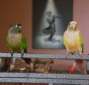 Pair of Green-cheeked Conure (Parakeet) birds. Loganholme Logan Area Preview