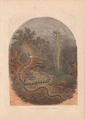 Ringelwürmer Eunice Worms Bobbitwurm handkolorierter HOLZLSTICH von 1866