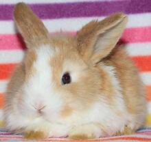 BABY LOPS,DWARFS,DUTCH,REX(from $20,lots to choose from & CAGES) Clayton Monash Area Preview