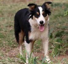 Purebred Pedigree Female Border Collie Beautiful Family Pet Lissner Charters Towers Area Preview