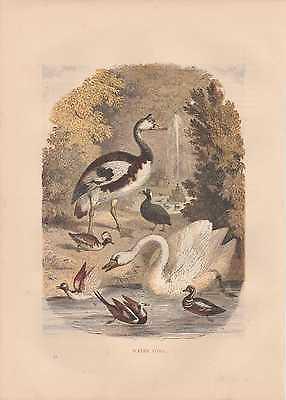Swan Ducks Goose Schwan Enten Gans handkolorierter HOLZLSTICH von 1866