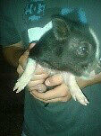 Tiny Mini Piglets For Sale
