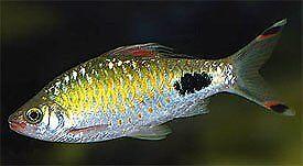 Tropical Fish ( RARE Filament Barbs, Aurilius Barbs)