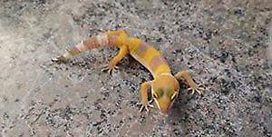gecko léopard sunglow, reptile, lézard