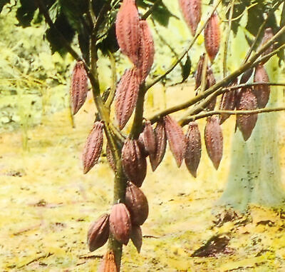 Cacao Tree for sale in South Africa | 48 second hand Cacao Trees