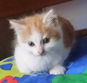 Little White/Ginger fluffy boy Kitten Chadstone Monash Area Preview