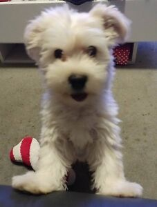 Cute Maltese Puppy Pyrmont Inner Sydney Preview