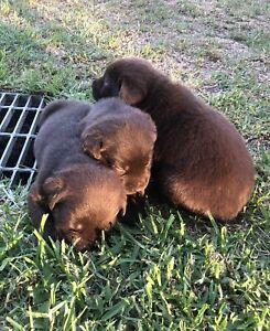 Pure bred Labradors