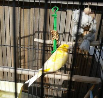 Lost Bird Canary