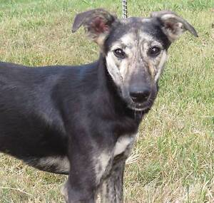Whippet X male for sale, average size Struck Oil Rockhampton Surrounds Preview