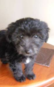Poodle x Bichon, black male puppy, 9 weeks old. Pakenham Cardinia Area Preview