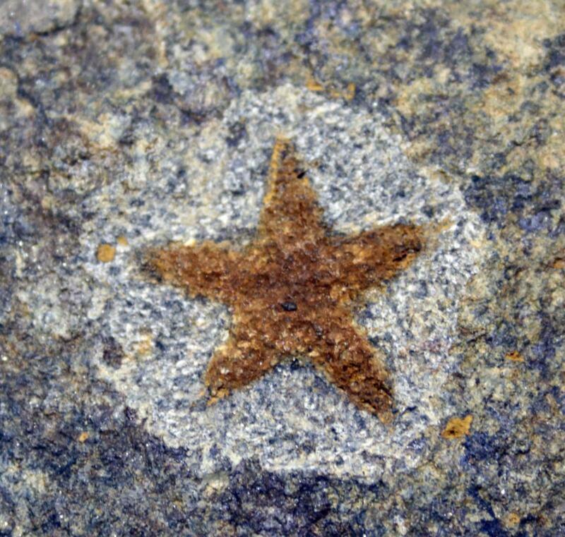 Starfish Fossil Ordovician 450 Million Years Ago Morocco #16480 13o