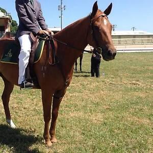 Australian Stock Horse For Sale Singleton Singleton Area Preview