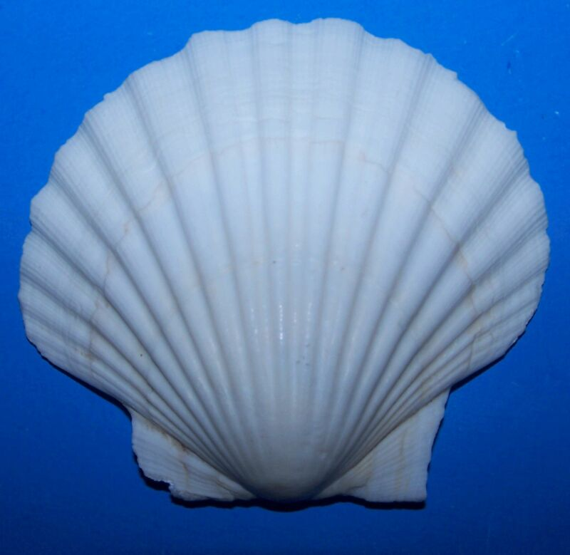 """10 LARGE BAKING SCALLOP CLAM Scallops SEAFOOD COOKING SHELL 4""""+ item # 1079-b-10"""