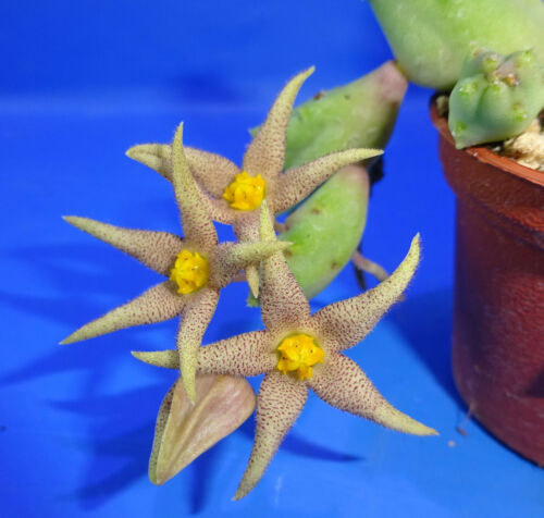Piaranthus geminatus , 2 unrooted stem , Phyto available