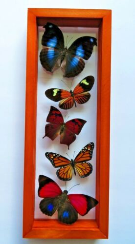 5 REAL FRAMED BUTTERFLY AMAZING COLLECTION DOUBLE GLASS 4.5