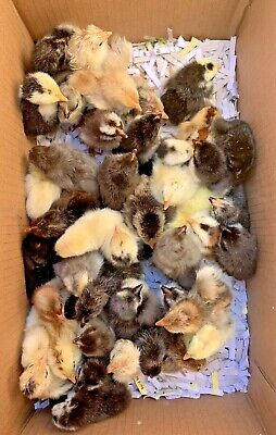 7 Extra 100 Pure Serama Fancy Fertile Tiny Hatching Eggs Smooth Frizzle Silkie