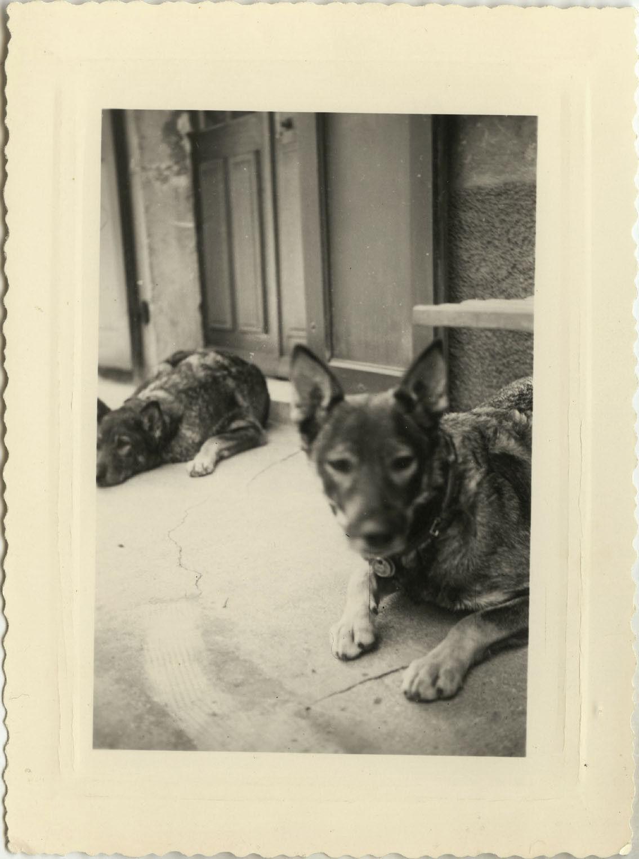 Photo ancienne - vintage snapshot - animal chien berger allemand - dog 3