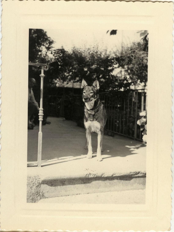 Photo ancienne - vintage snapshot - animal chien berger allemand - dog 1