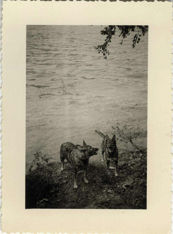 Photo ancienne - vintage snapshot - animal chien berger allemand riviÈre - dog 4
