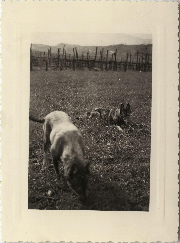 Photo ancienne - vintage snapshot - animal chien berger allemand - dog 5