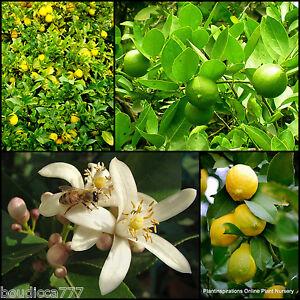 5 Lemon Lime Tree Citrus Fruit Trees Herb Garden Plants Scented Flowers Edible