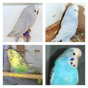 4 English Budgie hens for Sale