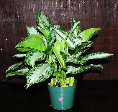 (Aglaonema Silver Bay Very Large Plant in 8