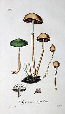 Agaricus Semiglobatus Träuschlinge Pilz Mushroom Dung Roundhead Wald Lamellen