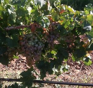 Wine Grapes Virginia Playford Area Preview