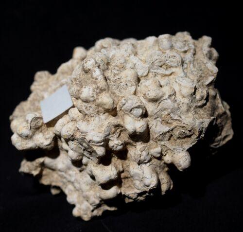 Perfectly 3D preserved calcareous algae fossil Lithothamnium colony - red algae