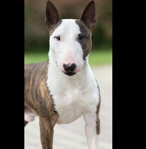 Bull Terrier | Adopt Dogs & Puppies Locally in Canada
