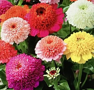 (Zinnia Scabiosa Mix Flower Seeds Packet 1 GRAM Easy to grow Beautiful Cute 2019)