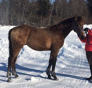 Warmblood gelding 5500$