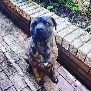 I'm struggling to find Bull Mastiff x puppies... Help? Craigie Joondalup Area Preview