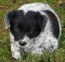 Cattle / Border Collie Puppies Mutdapilly Ipswich City Preview