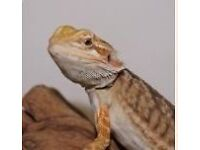 EXOTIC LIZARD FOR FREE