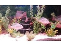 south american cichlids / 3 geo altifrons + 3 gold severums