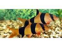 Clown Loach for sale - approx 2 inches size £3.50