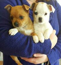 pug x jack Russell Echuca Campaspe Area Preview