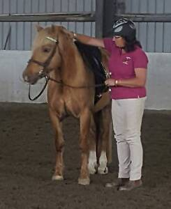Palomino welsh D stallion Albany Albany Area Preview