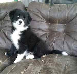 Border collie puppy. Wallaroo Gungahlin Area Preview
