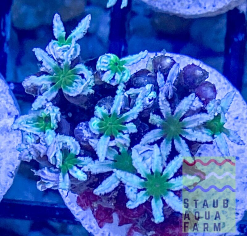 """SAF Pipe Organ Coral, """"WYSIWYG""""Clove Polyp Live Coral, SPS, LPS, Colony."""