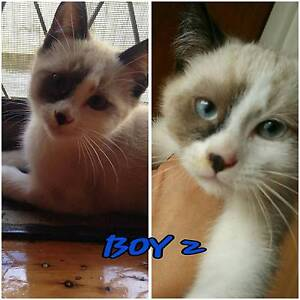 Gorgeous Ragdoll x Persian Kitten. Belmore Canterbury Area Preview