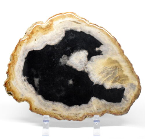 2.4LBs Petrified Wood Slab Fossilized Gemstone Crystal Mineral Slice - Indonesia