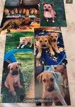 Puppies Kelpie/Red Healer x Bull Arab/Bullmastiff. Rivett Weston Creek Preview