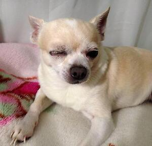 MISSING: Chihuahua / dog LOST Punchbowl Canterbury Area Preview