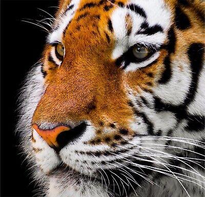 Cara de Tigre Pegatinas Vinilo Coche Furgoneta Camión Taxi Amante Animal Wild