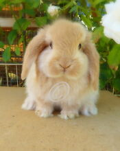 Pure Bred Mini Lop Orange Buck Marleston West Torrens Area Preview